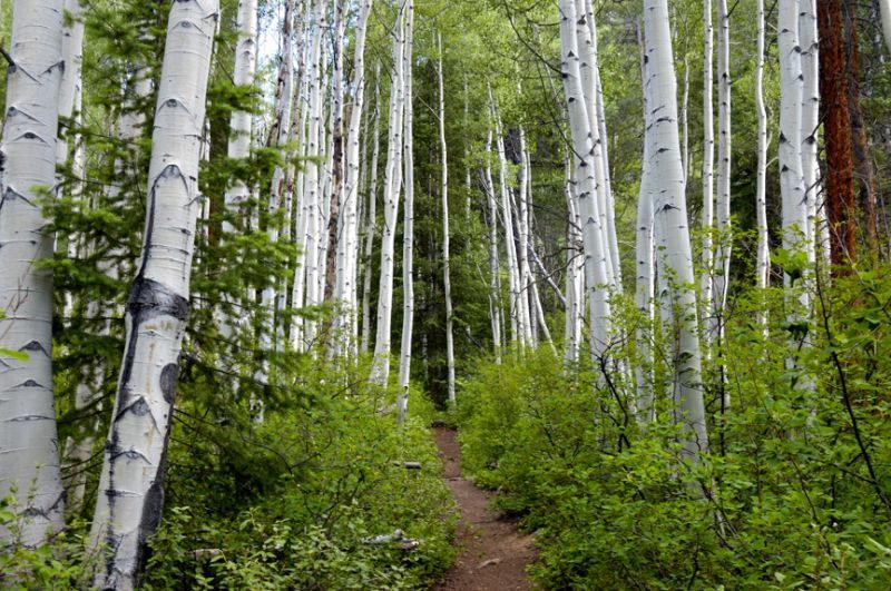 Cathedral Lake Trail Aspen Trees Aspen CO