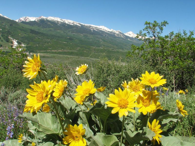 Sunnyside Trail Wildflowers Aspen CO